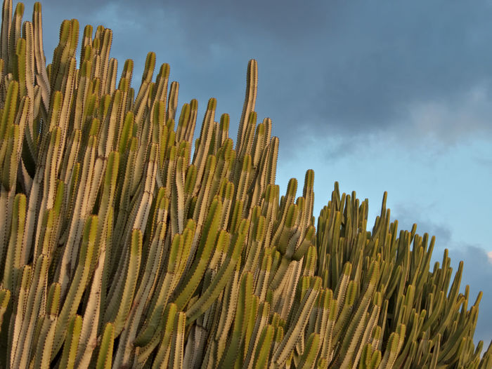 Low angle view of plants against sky euphorbia canariensis