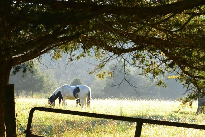 Horses in front royal virginia Tree One Animal Animal Themes Field Nature Horses Front Royal Virginia