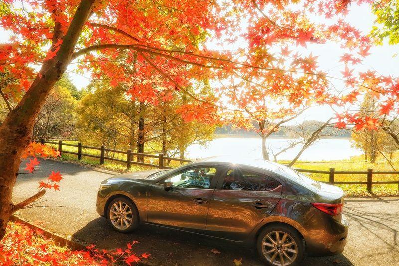 秋 紅葉 もみじ 木 森林 マツダ アクセラ Car Tree Land Vehicle Transportation Autumn Colored Leaves Maple Leaf Maple Tree Day Mode Of Transport 道路 Beauty In Nature 落葉 枯れ葉 Mazda Axela Mazda 3 Sunlight