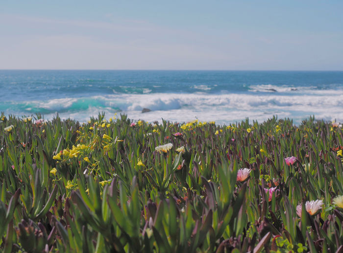 Close-up of flowers blooming by sea against clear sky