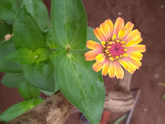 Flower Nature Flower Head Leaf Beauty In Nature Freshness Plant Petal Day Close-up Growth Green Color Outdoors Multi Colored Fragility Yellow Beauty No People Zinnias In Bl Zinnia Flower Zinnia Plant Nature Zinniaflower Zinnias Zinnia  Zinnias, Flowers