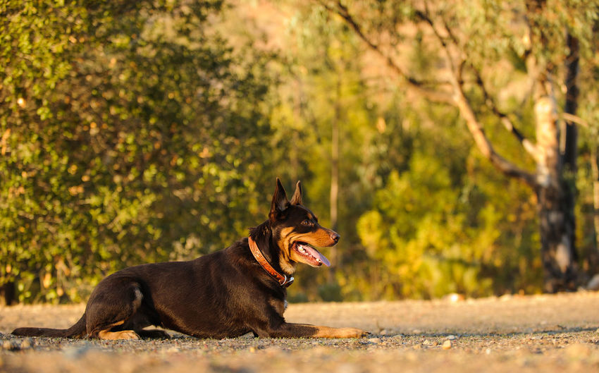 Australian Kelpie dog Animal Themes Australian Kelpie Day Dog Dogs Domestic Animals Kelpie Mammal Nature Nature No People One Animal Outdoors Pets Tree