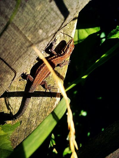 Lizards Bluey Cabrite Landscape_photography Amphibian Emeyebestshot Eyeemeyes √ Eyeem Brisbane Meetup Brisbane France