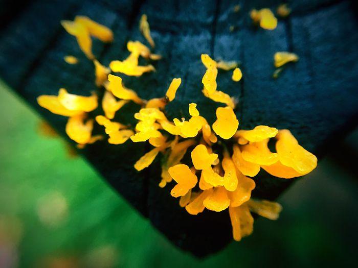 Fungus,Fungi Fungus Fungus 🍄 Fungusphoto Fungus And Flowers Fungus On Tree Fungus On Orange Orange Color Nature Photography Macro Photography IPhone Macro Nature Nature Lover Wood Art Fungus,Fungi Fungi Flower