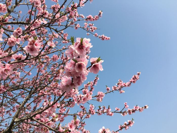 Mandelblüte Low Angle View Pink Color Fragility Flower Flowering Plant Beauty In Nature Tree