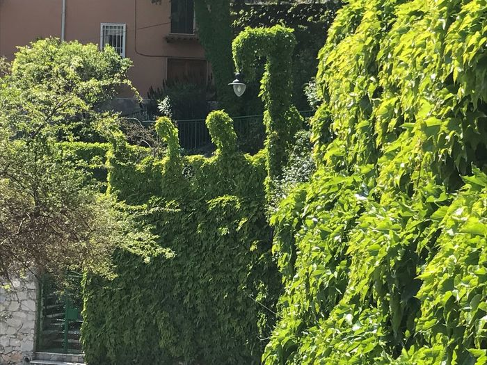 Hedge green Summer Italy