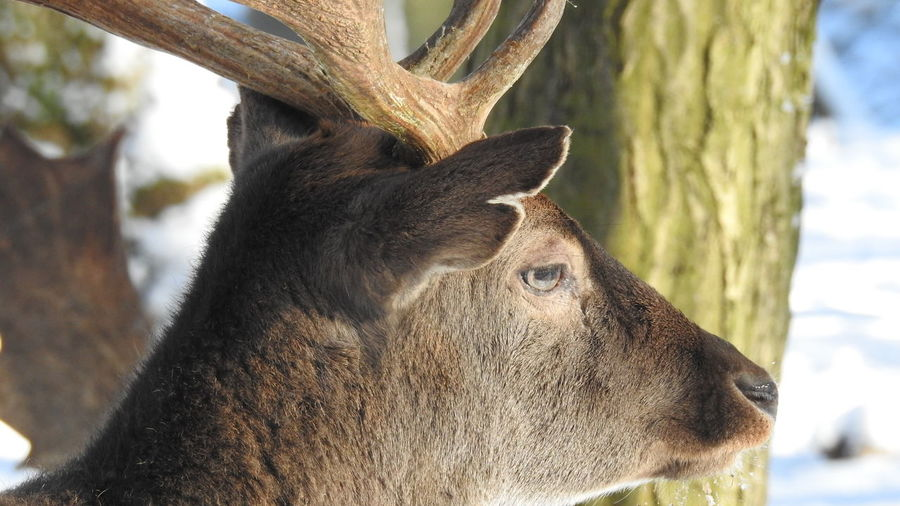 Animal Themes Animal Wildlife Animals In The Wild Antler Close-up Day Deer Dripping Water Ears Eye Shot Fur Male Deer Mammal Moose Mouth Watering Nature No People One Animal Outdoors Tree Wet Whiskers Whiskers EyeEmNewHere No Filter No Edit Beauty In Nature The Great Outdoors - 2017 EyeEm Awards