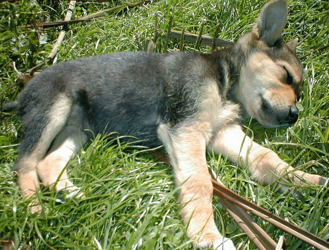 Puppy Dog Sleepy Puppy Animals La Perrita Always Be Cozy Feeling Safe Dogs Of EyeEm Pet Portraits EyeEm Ready