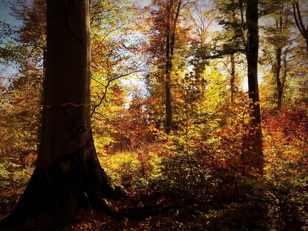 Autumn colors Plant Sky Trunk Sunset Sunlight No People Beauty In Nature Forest Tranquility
