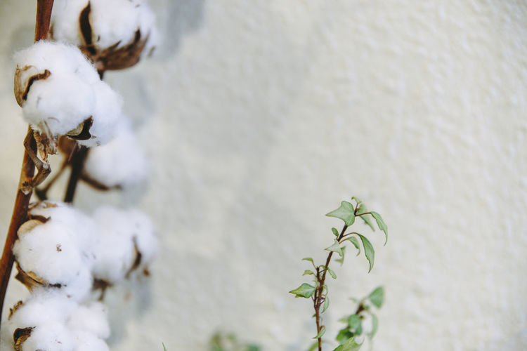 Close-up of cotton plant by wall