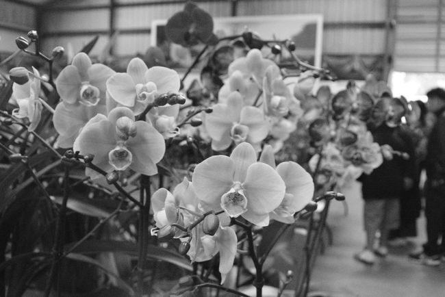 Orchids for sale Beauty In Nature Blooming Close-up Day Display Flower Flower Head Flowers Focus On Foreground For Sale Fragility Freshness Growth Orchid Orchid Blossoms Orchid Flower Orchidea Orchids Petal Plant