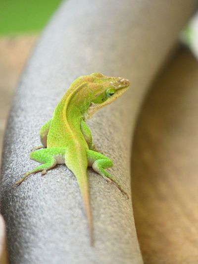 Lizard Wildlife