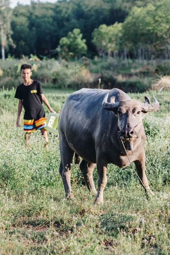 The Week On EyeEm Buffalo Thai Buffalo Buffalo Zoo Agriculture Domestic Animals Livestock Cattle Field Full Length Cow Grass Mammal Looking At Camera Outdoors Farmer Day Adult Animal Themes Rural Scene Nature Portrait One Person Tree Farmers Life