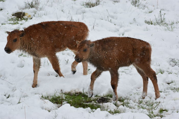 Americon Bison Baby Bison Baby Buffalo Bison Bison Calves Buffalo Calf Lamar Valley