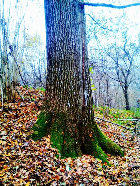 Tree Nature Tree Trunk Tranquility Growth Outdoors Forest No People Day Beauty In Nature Freshness Trees Collection Beauty In Nature Photography Oak Tree Leaves Oak Tree Mossy Tree Tree Trunk Moss-covered Moss Green Color Nature Yellow Leaves