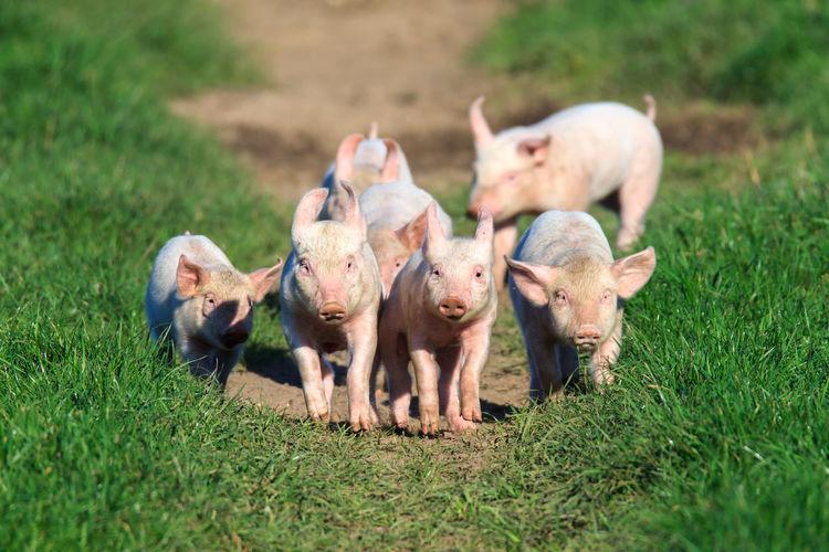 Pigs walking on field