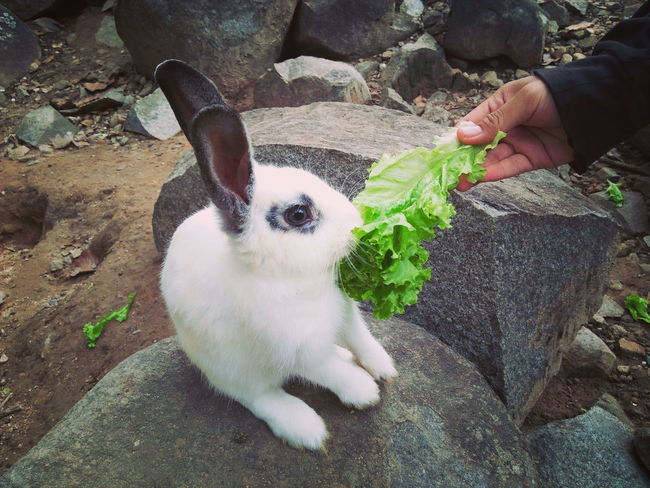 People hand Pets One Animal Animal Themes Domestic Animals One Person Mammal Dog Human Body Part People Day Adult Adults Only Outdoors Real People One Man Only Only Men Human Hand Close-up Animal Wildlife Rabbit Wild Cute Rabbit ,bunny Ground Rabbit Eye Animal Eat Zoo Animals Pet