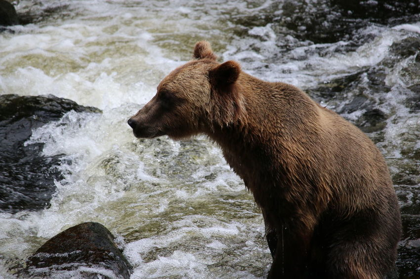 Brown Bear of Anan Bear Grizzly Bear Animal Wildlife Animals In The Wild NatureWaterfall Water Outdoors River Close-up Traveling Alaska Alaskan Nature Alaskan Life