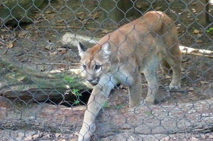 Cougar Audubon Zoo New Orleans, LA Wildlife Big Cats Zoo Animals  Mountain Lion Puma Panther Predator