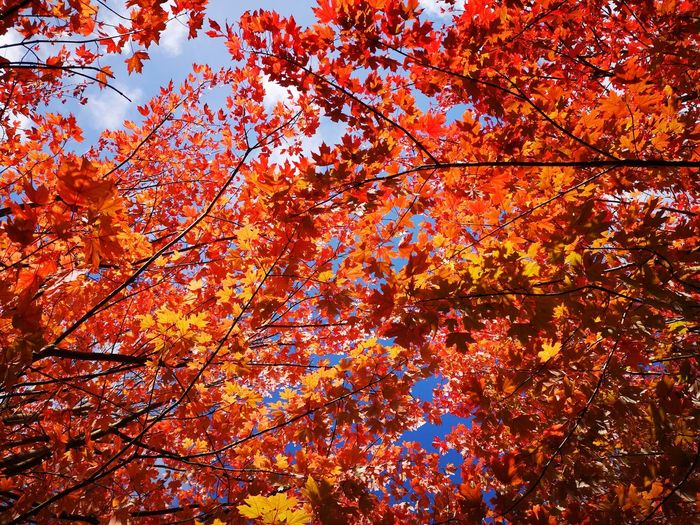 Do you guys love autumn too? :) Nature Colours Red colours of nature leaf EyeEm gallery eyemphotography Colors Calm beauty in Nature sky Autumn colors Autumn Mood The Week on EyeEm Nature Colours Red Colours Of Nature Leaf EyeEm Gallery Eyemphotography Colors Calm Beauty In Nature Sky Autumn Leaves Autumn Tree Branch Multi Colored Leaf Backgrounds Autumn Full Frame Change Maple Sunlight Autumn Collection Fall
