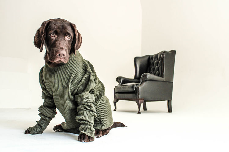 Fashion Labrador Dog Pet Armchair Sweet Cute Elegant Fancy Design Furnitures Labrador Brown Dress Sitting Retro Styled Black Color