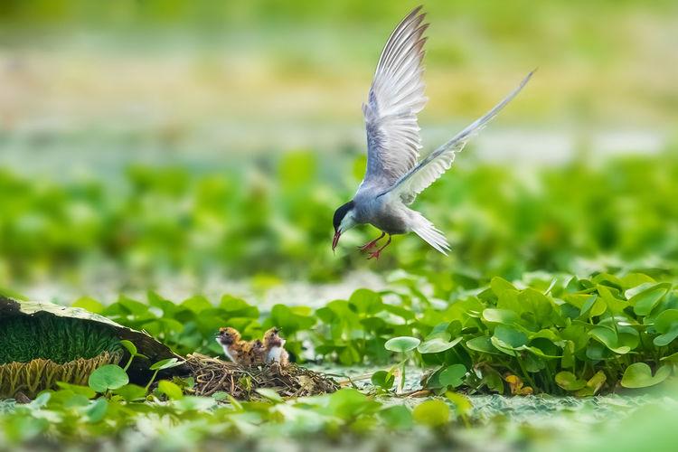 【须浮鸥】小鸟出壳当天就喂食了。