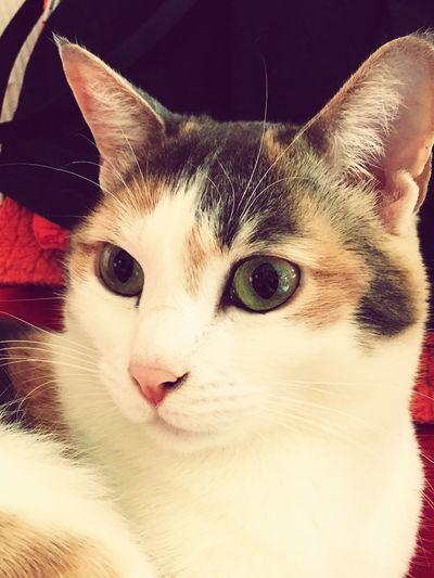 Occhi di gatto Domestic Cat Feline Pets Cat Ginger Cat Portrait MyLittleCat 💕 🐱 Domestic Animals EyeEm