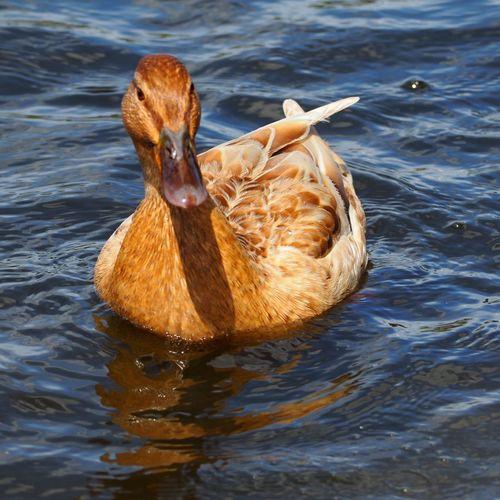 Bird Swimming Water Lake Waterfront Close-up Duck Floating In Water Swimming Animal Wild Animal Duckling Water Bird