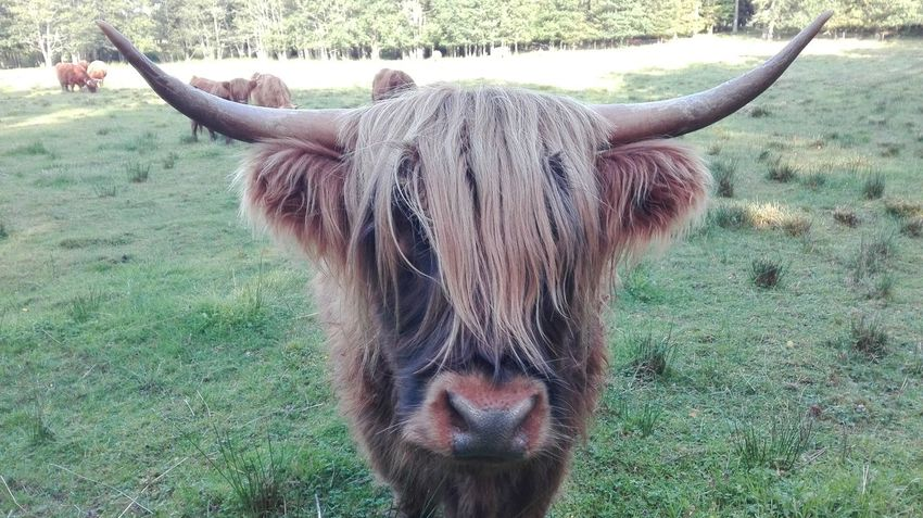 Animal Hair Animal Head  Animal Themes Brown Cattle Cow Cows Domestic Animals Domestic Cattle Field Grass Grassy Grazing Herbivorous Horned Horse Landscape Livestock Mammal One Animal Schottisches Hochlandrind Scottish Highlander Standing
