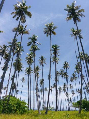 Tree Coconut Trees Sky Nature Cloud - Sky Outdoors No People Grass Landscape Beach Sibuan Island,
