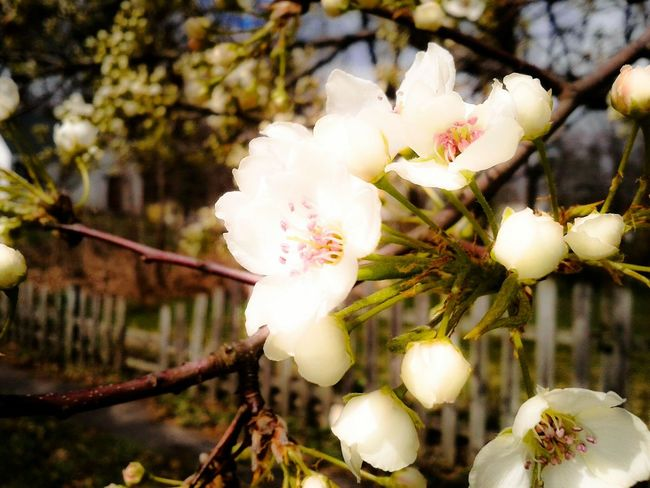Flower Blooming Blossom Tree Fence Spring