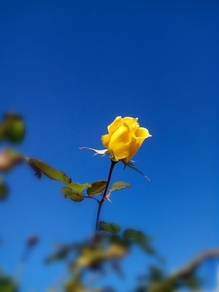 Colour Of Life Rose♥.Flower Collection.Beautiful Yellow Rose in Beautiful Day and Amazing Blue Sky