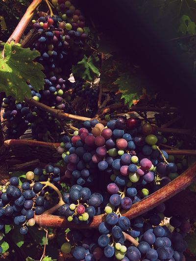 EyeEmBestPics EyeEmNewHere EyeEm Best Shots EyeEm Nature Lover Growth Nature Plant Multi Colored No People Food And Drink Healthy Eating Abundance Outdoors Freshness Large Group Of Objects Food Tree Sunlight Beauty In Nature Grape Fruit
