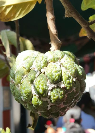 Custard apple - infested by Mealy bug Close-up Green Color Fruit Healthy Eating Custard Apple Mealy Bug Bug Pest Pest Control Pest Management Fruit Photography Selective Focus Eyeem Photography Eyeem Market EyeEm Nature Lover Eyeemphotography HelloEyeEm EyeEm Gallery Eyeem4photography Flower Collection Eye Em Nature Lover Eyeem Collection Getty Image-collection EyeEm Masterclass Garden Photography Nutritious Fruit
