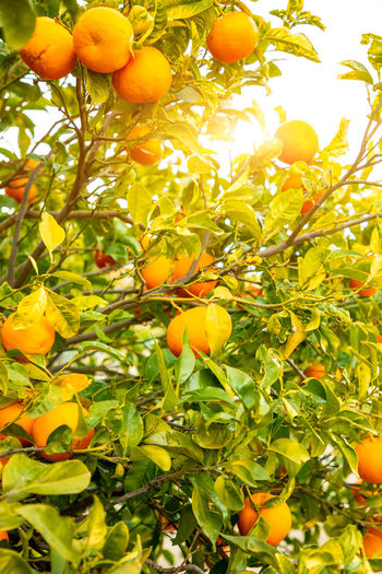 Italy Sicily Healthy Eating Food And Drink Fruit Growth Plant Food Tree Leaf Fruit Tree Freshness Plant Part Nature No People Green Color Orange Color Citrus Fruit Wellbeing Day Beauty In Nature Orange Outdoors Organic Ripe