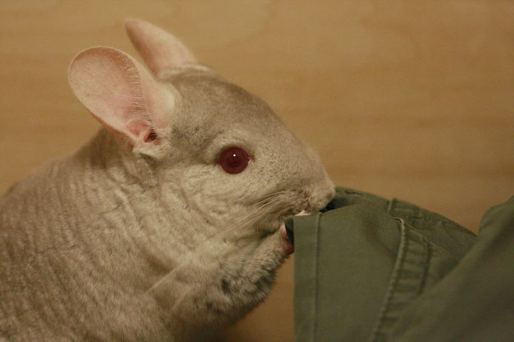 Chinchilla Animal Body Part Animal Wildlife Cat Close-up Cute Domestic Domestic Animals Feline Focus On Foreground Indoors  Looking Looking Away Mammal No People One Animal Pets Vertebrate Whisker