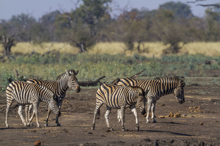 Zebras standing on land in forest
