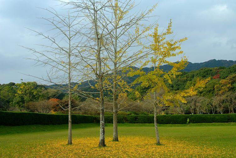 Autumn Autumn Leaves Ginkgo Japan