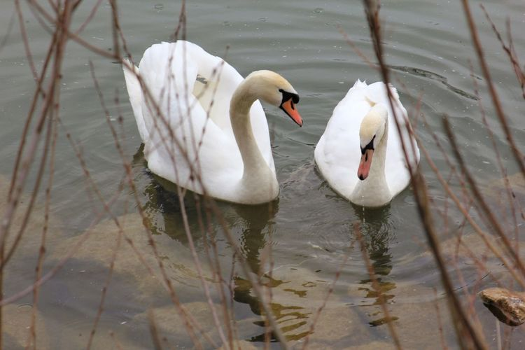 Schwäne Paar Beziehung Liebe Partnerschaft Family Couple In Love Couple - Relationship Pair Relationship Difficulties Relationship Love EyeEm Selects Bird Animal Themes Animals In The Wild Animal Water Animal Wildlife Lake Swan Group Of Animals Swimming Water Bird Two Animals White Color Waterfront