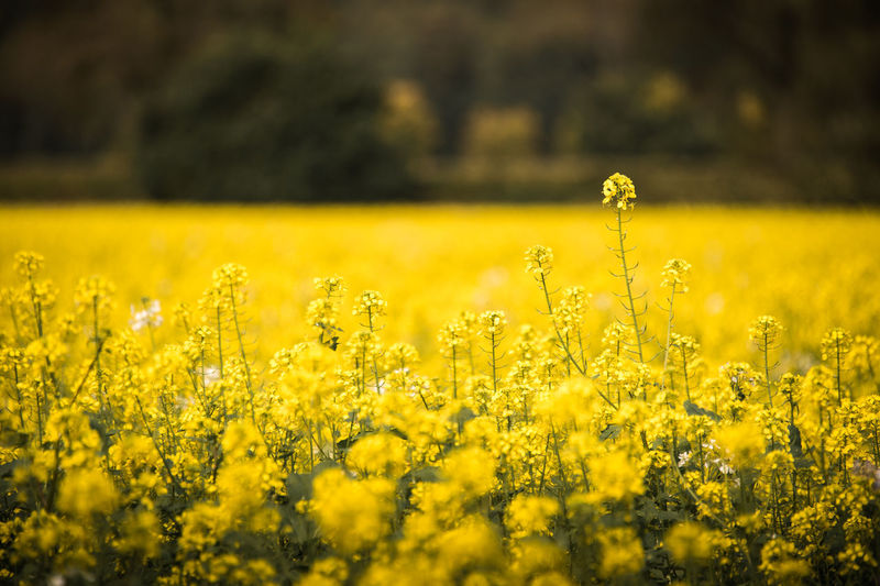 Close-up of yellow flowers growing in field