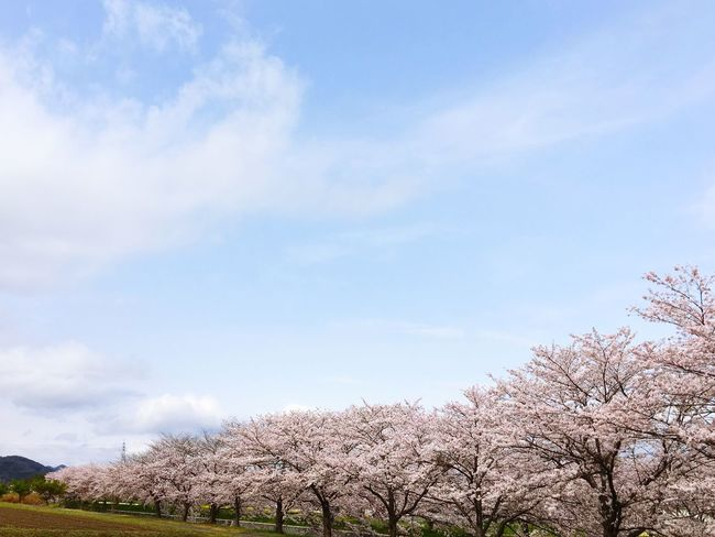 Tree Sky Beauty In Nature Flower Nature Low Angle View Day No People Growth Blossom Cloud - Sky Outdoors Freshness Fragility Branch Springtime Scenics Sakura Make You Coffee