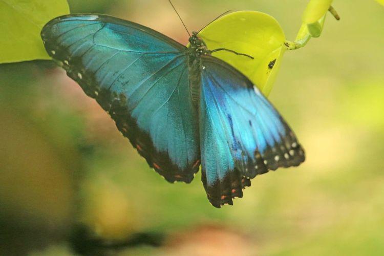 Butterfly Blue Morpho Open Wide Butterfly