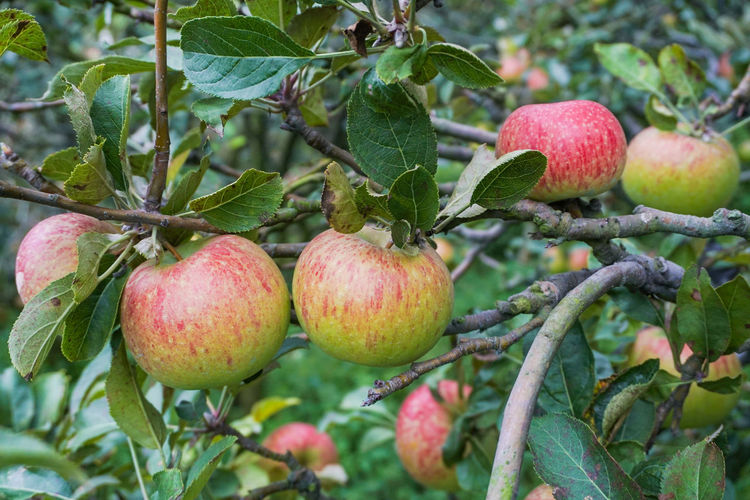 Garden of Rome Beauty Apple Food Healthy Eating Fruit Food And Drink Plant Part Plant Leaf Freshness Apple - Fruit Wellbeing Growth Tree Apple Tree Red Branch Agriculture Green Color Fruit Tree Close-up Nature No People Ripe Organic Outdoors Batu