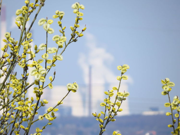 Air Pollution Catkin Chimney Energy Environment Environmental Environmental Pollution Flower Fragility Growth Industrial Industrial Landscapes Industrial Plant Industrial Pollution Industriekultur Nature Plant Pollution Pollution In My World Power Plant Power Station Powerhouse Vapour Willow Willow Catkins