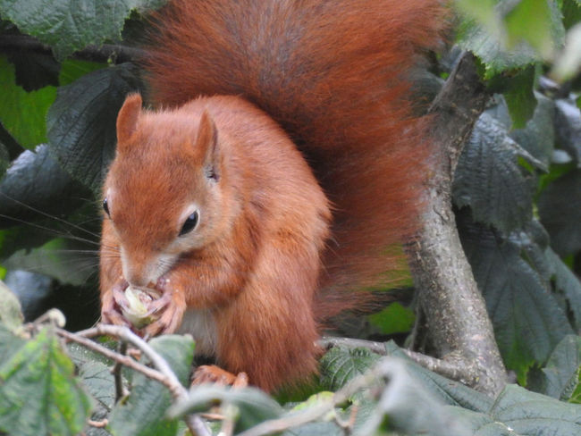 Animal One Animal Animal Themes Mammal Animals In The Wild Animal Wildlife No People Close-up Nature Outdoors Domestic Animals Squirrel Forest Beauty Beauty In Nature Tree Eating Portrait Plant Food Nikon P900 Nikonphotography Nikon Nikon Photography