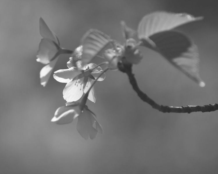 Light And Shadow EyeEm Flower Cherry Blossoms Monochrome Blackandwhite Flowering Plant Flower Plant Fragility Petal Vulnerability  Beauty In Nature Close-up Selective Focus Focus On Foreground Inflorescence Freshness