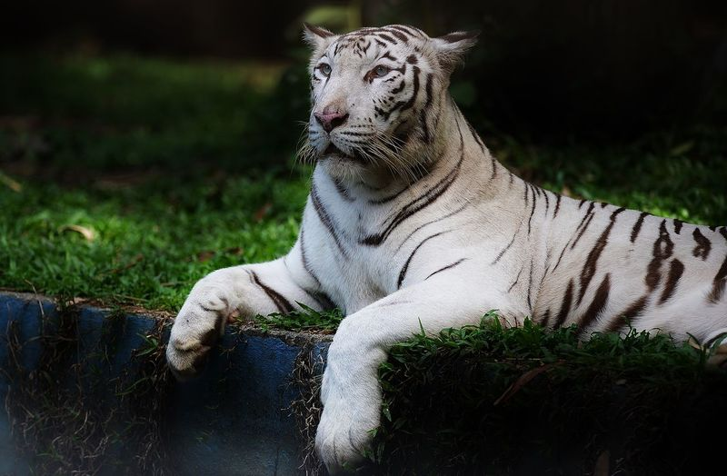 White Tiger Lying On Grass In Forest