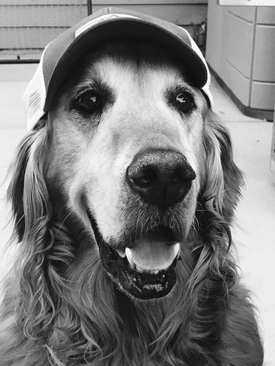 Golden Retriever's Winning Got Food? I'm So Happy! Serious Red Sox F Woody's Life Woody's Real L Life In The Fast Lane  Lovin' Life