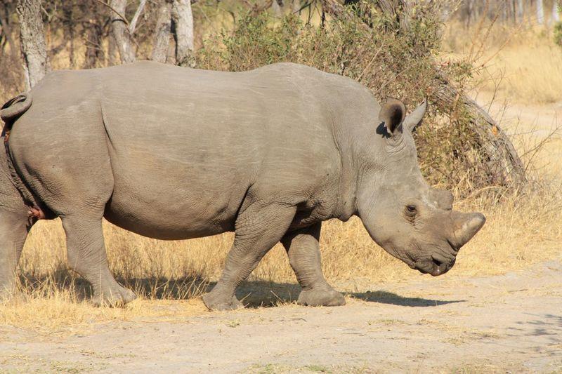 Male rhino EyeEm Selects Animal Themes Animal Animal Wildlife Animals In The Wild Mammal One Animal Land No People Rhinoceros Walking Herbivorous Safari Side View Nature Day Outdoors Sunlight