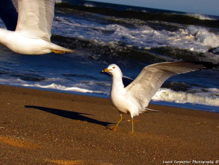 Beautiful Seagull Spreading its Wings with another flying away Seagull Day Ocean Wildlife Beach Love Beach Photography Bird Lover